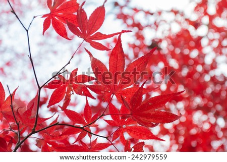 Red maple leaf in autumn season. - stock photo