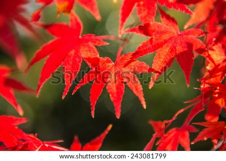 red maple leaf in autumn season  - stock photo