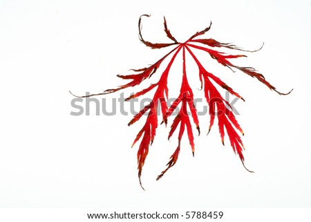 red maple-leaf isolated
