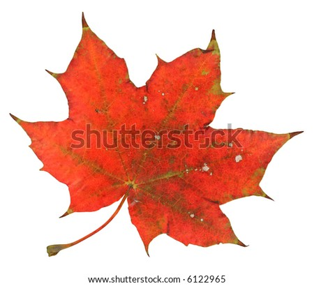 red maple leaf isolated on pure white background, great details in 100% view