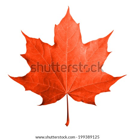 Red maple leaf isolated white background. - stock photo