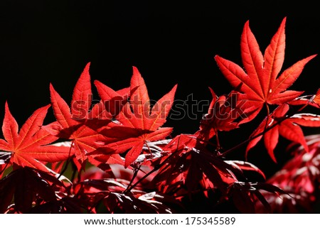 Red maple leaf on black background - stock photo