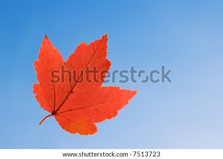 Red Maple Leaf on blue sky - stock photo