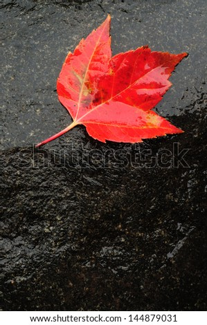 Red Maple Leaf on Wet Rock in the Fall - stock photo
