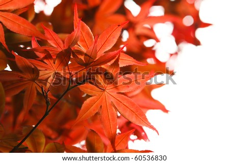 red maple leaf on white - stock photo