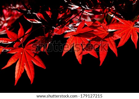 Red maple leaf with black back ground  - stock photo