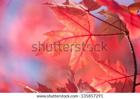 red maple leaf with blue sky background - stock photo