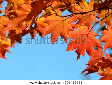 Red maple leaves, autumnal frame, golden autumn - stock photo