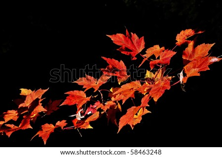 Red maple leaves branch isolated on black background - stock photo