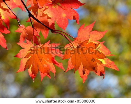 Red maple leaves, golden autumn - stock photo