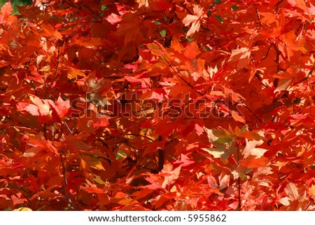 Red Maple Leaves in Fall or Autumn Colors - stock photo