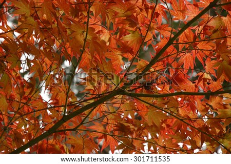 red maple leaves in Japan - stock photo