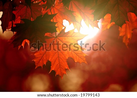 Red maple leaves in sunlight