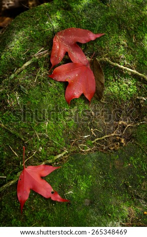 Red maple leaves lay on the ground in the forest - stock photo