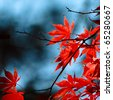 Red maple leaves on a sunny autumn day - stock photo