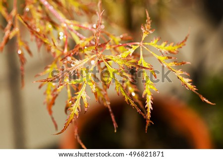 Red maple leaves with water drops in close up, horizontal image