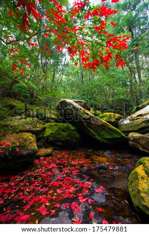 red maple on the waterfall - stock photo