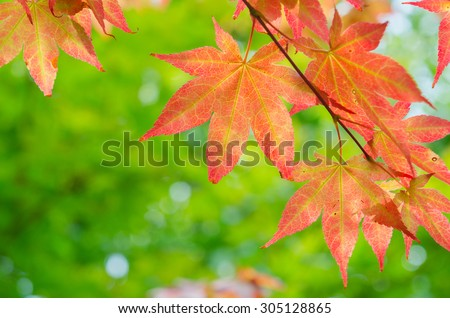 red maple tree background - stock photo