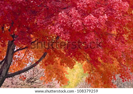 Red Maple Tree in Autumn - stock photo