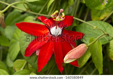 red Mary Jane Passiflora blooms amongst the green leaves - stock photo