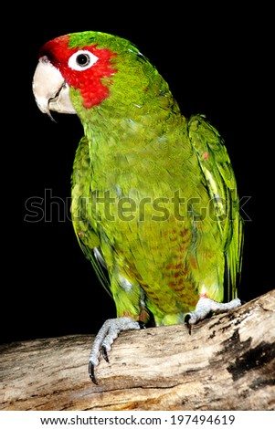 Red-Masked Parakeet / Red Masked Parakeet on Tree Branch with Black Background - stock photo