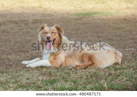 Red Merle Australian Shepard dog lying on grass at park with big smile.