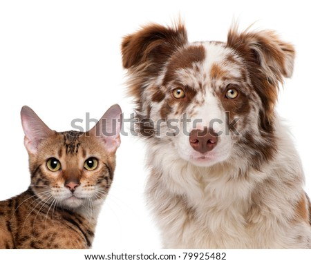 Red Merle Border Collie, 6 months old and a Bengal cat, 7 months old, in front of a white background - stock photo