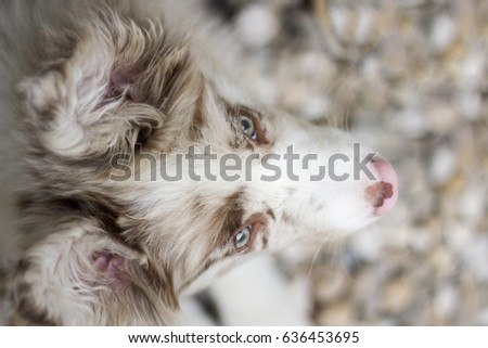 Red merle border collie puppy playing