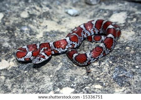 Red Milk Snake (Lampropeltis triangulum syspila) - stock photo