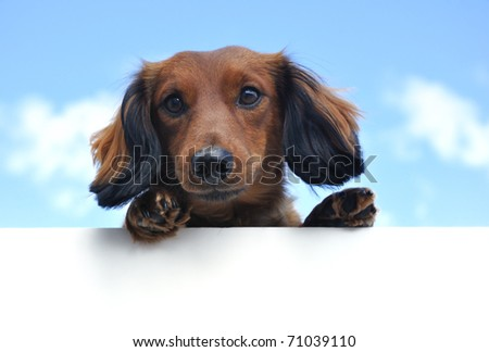 Red Miniature Long-Haired Dachshund Above a Blank Sign - stock photo