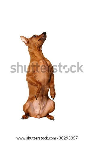 Red miniature pinscher sitting vertically with forepaws up
