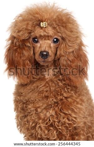 Red Miniature poodle. Close-up portrait on a white background - stock photo