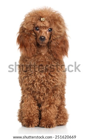 Red Miniature poodle. Portrait on white background - stock photo