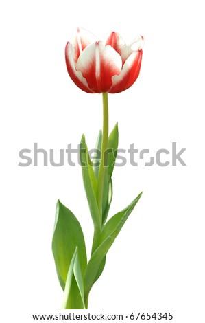 Red mix White Tulip flower - stock photo