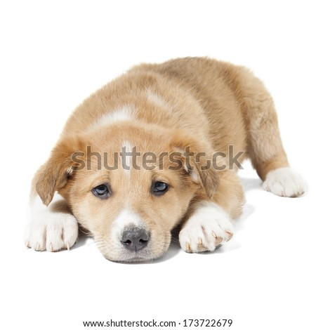 red mongrel puppy on a white background - stock photo
