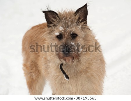 Red mongrel shaggy dog standing in white snow - stock photo