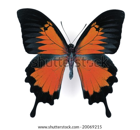 red morpho - stock photo