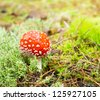 red mushroom fungi, Fly Agaric, latin name is Amanita muscaria. - stock photo