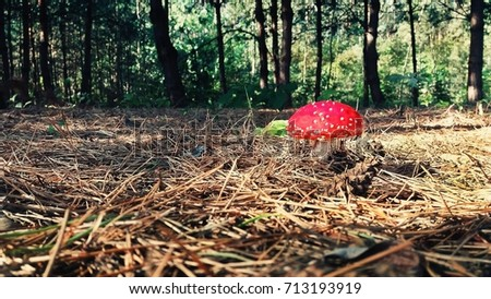 Red mushroom in the forest.