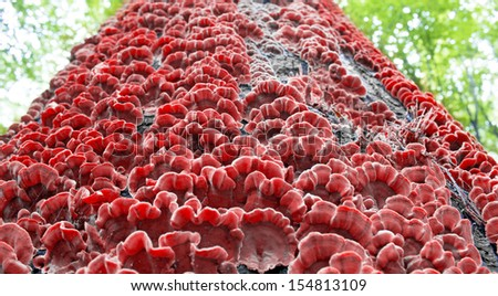 red mushrooms on the bark of a tree - stock photo