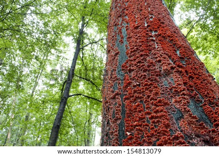 red mushrooms on the bark of a tree in the forest, red fungus on a tree - stock photo