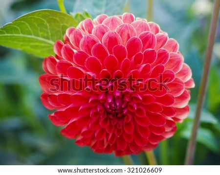 red nature dahlia floral single in garden  - stock photo