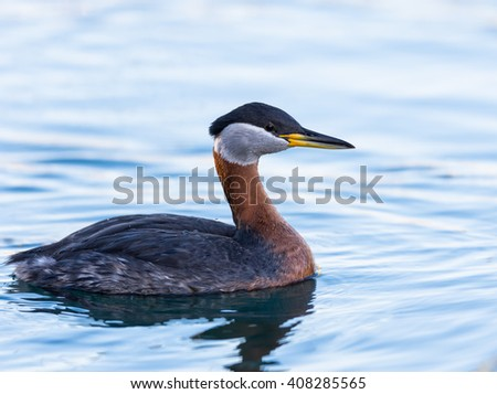 Red Necked Grebe Swimming in Early Morning - stock photo
