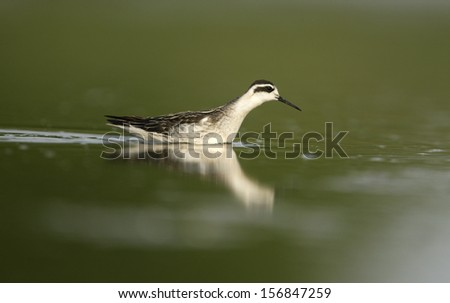 Red-necked phalarope, Phalaropus lobatus, single bird in winter plumage on water, New York, USA, summer