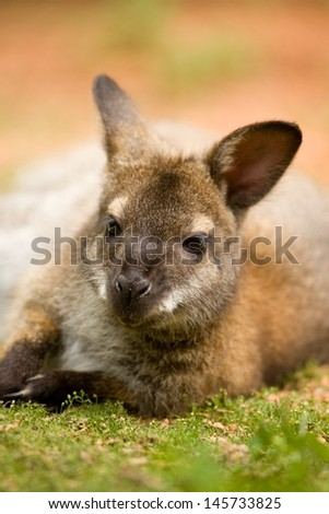 Red-necked wallaby lying on green grass