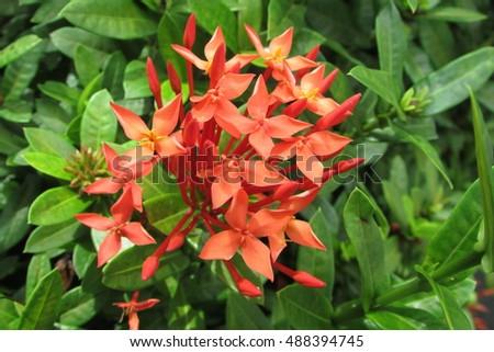 Solanaceae - Rainforest Plants