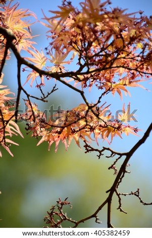 Red new leaves and flowers of maple tree in spring, Japan
