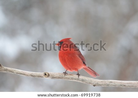 red northern cardinal waiting for food in a snowstorm
