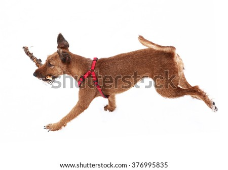 red nose irish terrier dog gnaw chew stick play on the snow background - stock photo