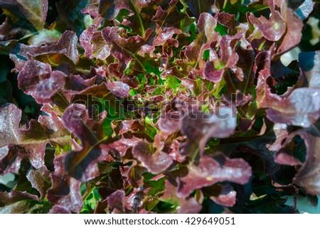 Red oak farm - stock photo